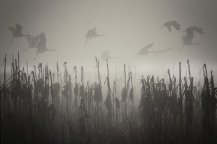 Cranes glide through the tule fog at the Merced National Wildlife Refuge. (Photo by Steve Corey via Flickr)